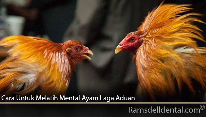 Cara Untuk Melatih Mental Ayam Laga Aduan