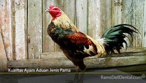 Kualitas Ayam Aduan Jenis Pama